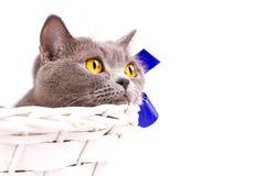 Великобританский кот на белой предпосылке Стоковая Фотография