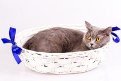 Великобританский кот на белой предпосылке Стоковое Фото