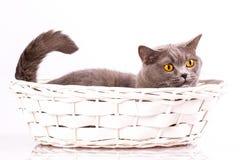 Великобританский кот на белой предпосылке Стоковая Фотография RF