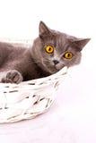 Великобританский кот на белой предпосылке Стоковое Изображение