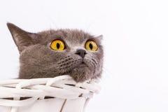 Великобританский кот на белой предпосылке Стоковое Изображение RF