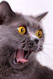 Великобританский кот на белой предпосылке Стоковые Фотографии RF