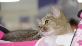 Великобританский кот на выставке кота видеоматериал