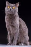 Великобританский кот на черной предпосылке Стоковые Изображения RF
