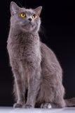 Великобританский кот на черной предпосылке Стоковые Фото