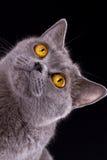 Великобританский кот на черной предпосылке Стоковые Фотографии RF
