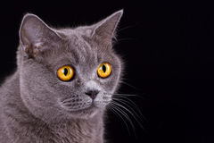 Великобританский кот на черной предпосылке Стоковое Изображение RF