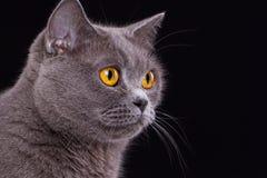 Великобританский кот на черной предпосылке Стоковые Изображения