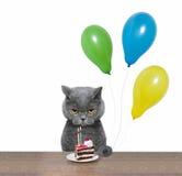 Великобританский кот празднуя день рождения с куском пирога и воздушными шарами Стоковое Изображение RF