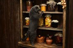 Великобританский кот сидит на таблице на предпосылке винтажного шкафа с банками Стоковые Фото