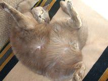 Великобританский кот шальной Стоковая Фотография