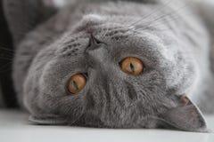 Великобританский кот любимчика Стоковые Изображения