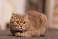 Великобританский кот стоковые изображения