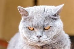великобританский портрет кота Стоковые Фотографии RF