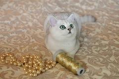 Великобританский цвет котенка затемнил шиншиллу стоковое фото rf