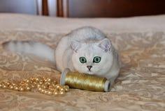 Великобританский цвет котенка затемнил шиншиллу стоковая фотография