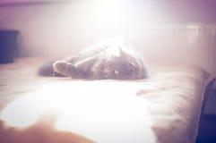 Великобританский longhair кот Стоковое Фото