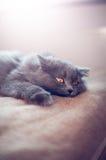 Великобританский longhair кот Стоковая Фотография RF