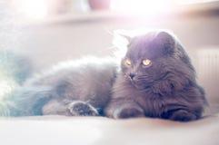 Великобританский longhair кот Стоковые Изображения