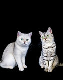 2 великобританских кота коротких волос на черной предпосылке Стоковые Изображения RF