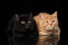 2 великобританских котят на черноте Стоковое Фото