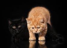 2 великобританских котят на черноте Стоковые Фото