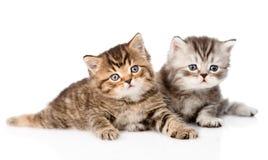 2 великобританских котят смотря камеру Изолировано на белизне Стоковая Фотография