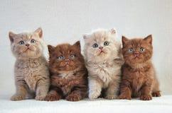 4 великобританских котят Стоковое фото RF