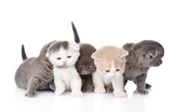 5 великобританских котят shorthair белизна изолированная предпосылкой Стоковое Изображение