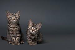 2 великобританских котят shorthair Стоковые Фотографии RF