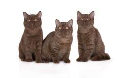 3 великобританских котят shorthair Стоковые Изображения RF