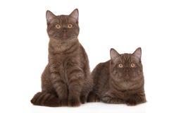 2 великобританских котят shorthair Стоковое Фото