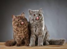 2 великобританских longhair котят Стоковая Фотография