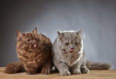 2 великобританских longhair котят Стоковое Изображение RF