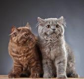 2 великобританских longhair котят Стоковое Фото