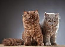 2 великобританских longhair котят Стоковая Фотография RF