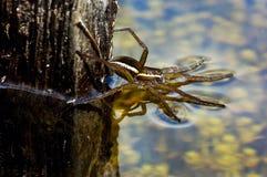 Великобританское звероловство паука сплотка Стоковое фото RF