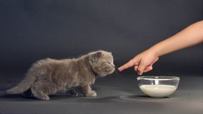 Великобританское питьевое молоко котенка shorthair акции видеоматериалы