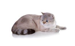 великобританское shorthair кота Покрасьте пункт уплотнения золотой затеняемый изолировано Стоковое Изображение