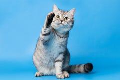 великобританское shorthair кота стоковое фото