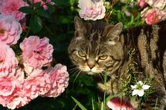 великобританское shorthair кота Стоковое Изображение RF