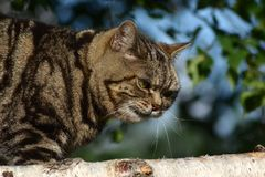 великобританское shorthair кота стоковое фото rf