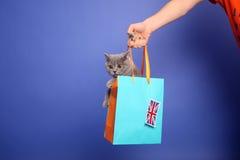 великобританское shorthair котенка Стоковое Изображение RF