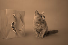 великобританское shorthair котенка Стоковые Изображения RF