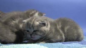 великобританское shorthair котенка акции видеоматериалы