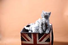 великобританское shorthair котят Стоковые Фотографии RF