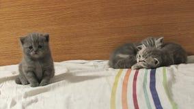 великобританское shorthair котят акции видеоматериалы