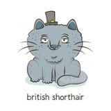 великобританское shorthair Характер кота на белизне Стоковые Изображения