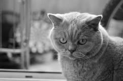 великобританское shorthair стоковая фотография rf