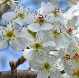 Великолепие вишневого цвета Стоковая Фотография